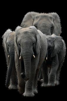 Elephants, Mammals, Pachyderm, Animals, Fauna