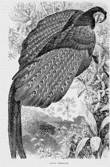 Argus Pheasant, Bird, Exotic Animal, Animal, Avian