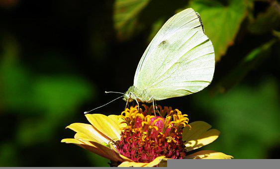 Butterfly, Insect, Flower, Zinnia, Yellow Zinnia