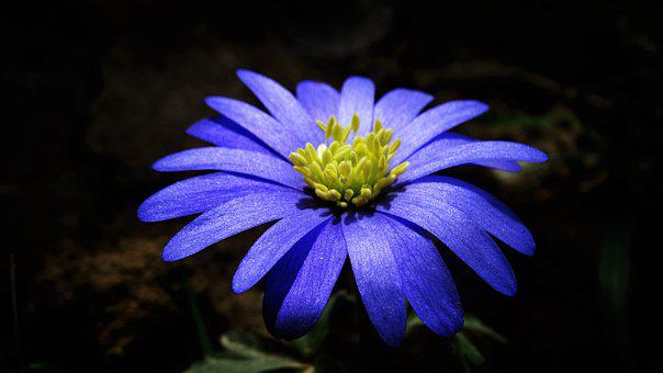 Flower, Wood Anemone, Wild Flower, Petals, Colorful