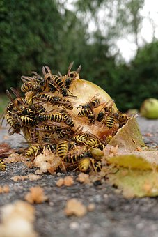 Wasps, Windfall, Apple, Fruit, Insects, Close Up