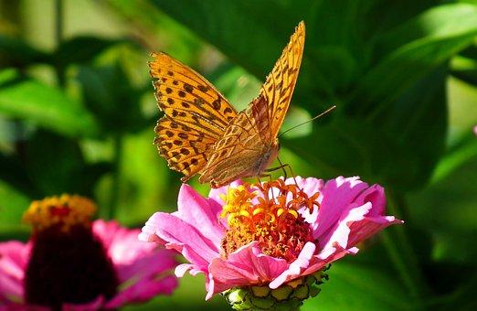 Butterfly, Insect, Flower, Zinnia, Pink Zinnia