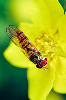Insect, Fly, Flower, Yellow Flower, Petals, Pollen
