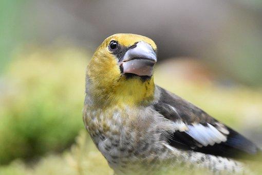 Juvenile Hawfinch, Bird, Animal, Avian, Closeup, Nature