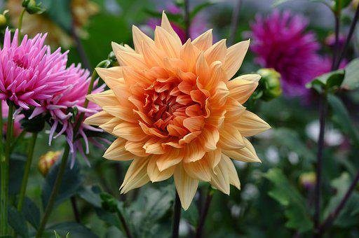 Flowers, Dahlia, Plants, Botany, Garden, Blossom, Bloom