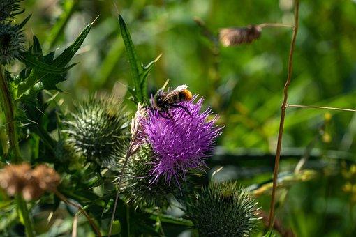 Thistle, Flower, Purple Flower, Wild Flower