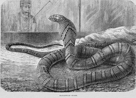 Hamdryad Snake, King Cobra, Reptile, Serpent, Animal