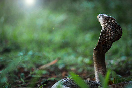 Snake, Cobra, Reptile, Animal, Wildlife, Dangerous