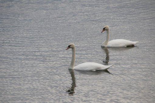 Swans, Lake, Water, Pair, Bird, Waterfowl, Avian
