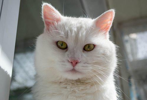 Cat, White, Feline, Animal Portrait, View, Cute