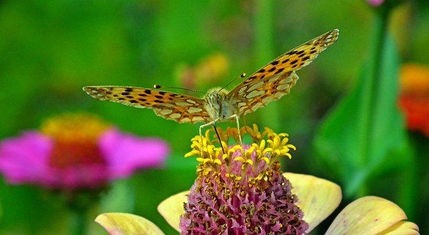 Butterfly, Insect, Flower, Zinnia, Yellow Zinnia