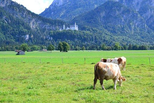 Allgäu, Cows, Agriculture, Livestock, Pasture, Animal