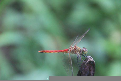 Dragonfly, Red Dragonfly, Insect, Anisoptera, Nature