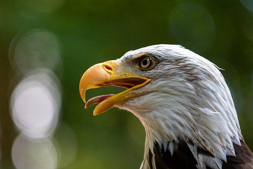 Adler, Bird, Bird Of Prey, Raptor, Bald Eagle