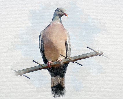 Bird, Dove, Watercolor, Animal, Ornithology, Artistic