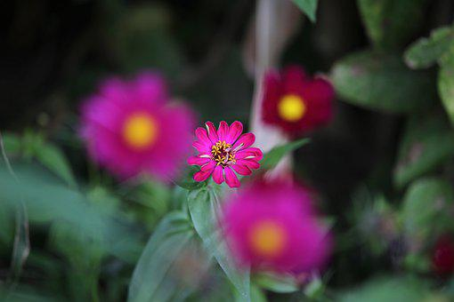 Pink Cosmos Flowers, Flowers, Blooming, Plants, Blossom