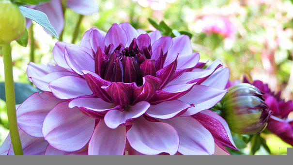 Dahlia, Blossom, Bloom, Dahlias Bud, Flower Garden