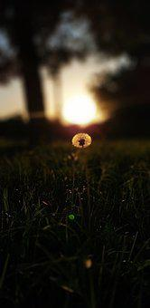 Sunset, Pasture, Grass, Dandelion, Trees