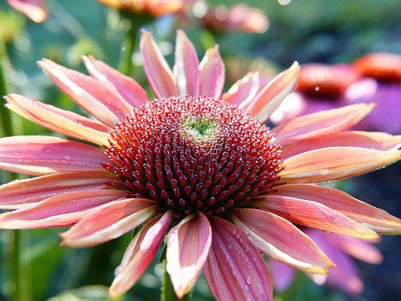 Echinacea, Coneflower, Blossom, Bloom, Close Up, Dew