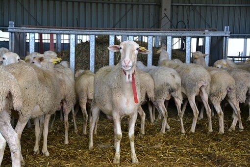 Sheep, Livestock Farm, Farm, Sheep Farming