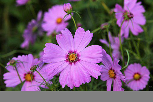 Pink Cosmos Flowers, Flowers, Blooming, Blossom, Flora