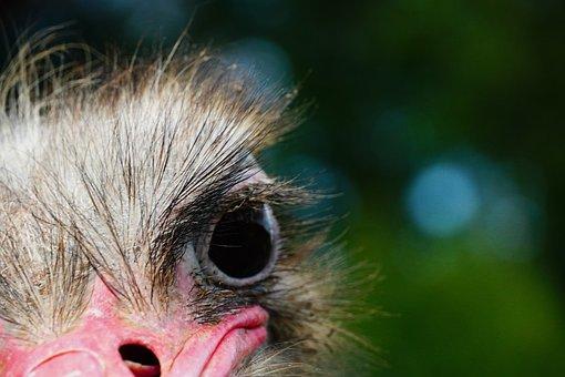 Ostrich, Head, Bird, Animal Portrait, Nature, Features