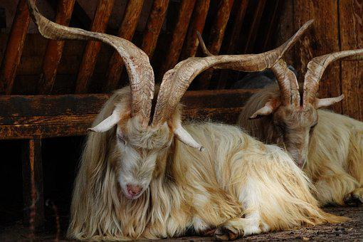 Goat, Animal, Horns, Fur, Creature, Mammal, Farm