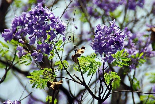 Flowers, Blue Petals, Inflorescence, Jacaranda