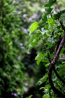 Vines, Plants, Grapes, Nature, Grape Vines, Leaves