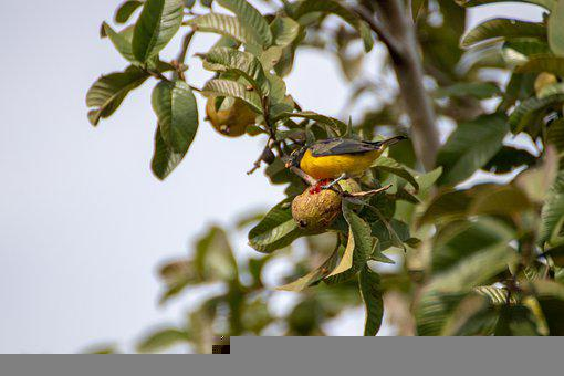 Bird, Black And Yellow Bird, Animal, Wildlife, Avian