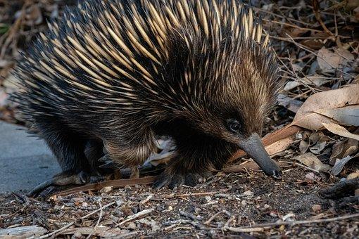 Echidna, Hedgehog, Animal, Nose, Cute, Fauna
