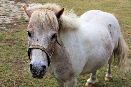Pony, Animal, Mammal, Nature, Cute, Rural, Horse Head