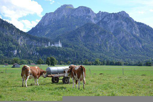Allgäu, Cows, Agriculture, Livestock, Pasture, Cattle