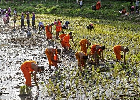 People, Astir, Rice, Field, Monk, Trees, Strenuous