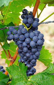 Grapes, Vine, Grapevine, Fruit, Bunch, Tree, Branch