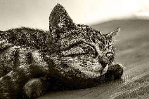 Cat, Feline, Tiger, Sleep, Animal, Kitten, Mammal, Cute