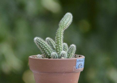 Cacti, Cactus, Plant, Echinopsis Chamaecereus