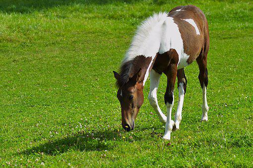 Horse, Equine, Equestrian, Pony, Mane, Foal, Young