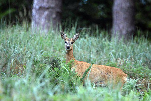 Deer, Sarna, Animal, Forest, Nature, Wild, Fur