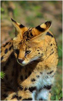 Serval, Cat, Wildcat, Carnivore, Animal, Wild, Zoo