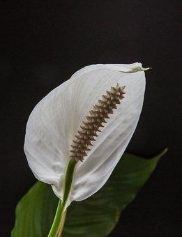 Flower, Anturie, Anthurium, Blossom, Bloom, Plant