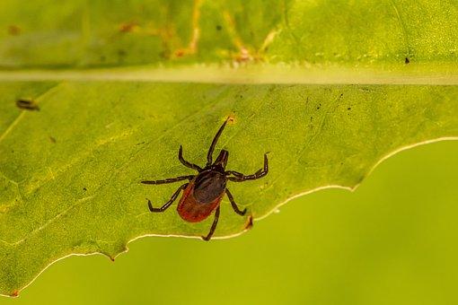 Tick, Insect, Parasitic, Arachnid, Animal