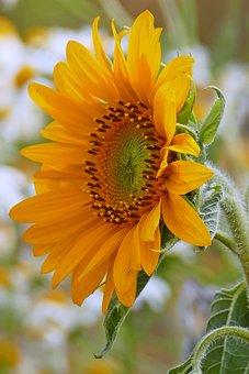 Sunflower, Blossom, Bloom, Yellow Petals, Pollen