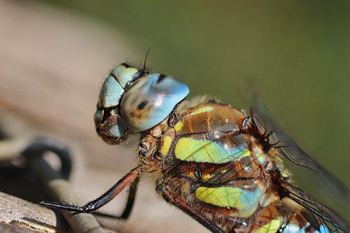 Dragonfly, Insect, Blue-green Maidenhead, Compound Eyes