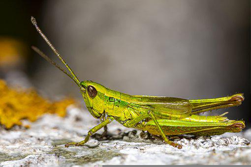 Grasshopper, Insect, Bug, Antennae, Face, Shadow