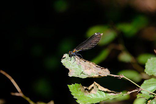 Dragonfly, Blue-winged Demoiselle, Calopteryx Virgo
