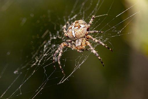 European Garden Spider, Spider Web, Arachnid, Cobweb