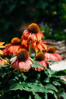 Coneflowers, Flowers, Orange Petals, Orange Flowers