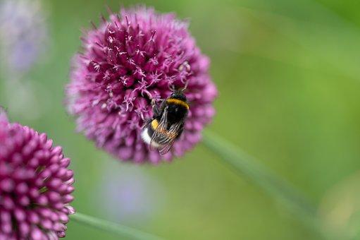 Drumstick Allium, Bee, Flower, Round-headed Leek