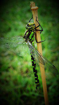 Dragonfly, Insect, Wings, Plant, Animal, Fauna